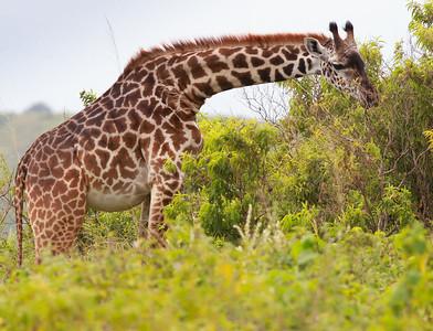 Jiraffe Arusha NP Tanzania  2014 07 03.JPG.JPG