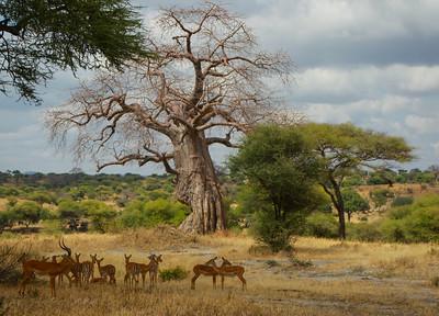 Impala Bao Bao Tree  Tanzania  2014 07 04 .JPG.JPG