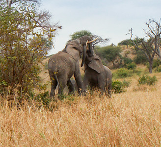 Elephant  Tarangire NP Tanzania  2014 07 03.JPG-14.JPG