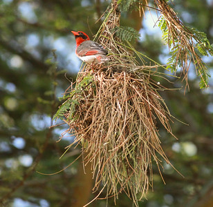 Red-headed Weaver Lake Duluti Arusha Tanzania 2014 06 29-2.JPG