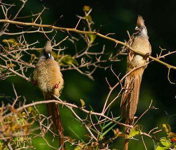 Speckled Mousebird  Lake Duluti Arusha Tanzania 2014 06 29-2.JPG