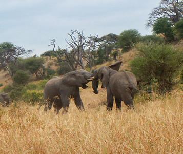 Elephant  Tarangire NP Tanzania  2014 07 03.JPG-15.JPG