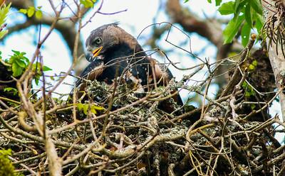 African Crowned Eagle  Tanzania  2014 07 03.JPG-4.JPG