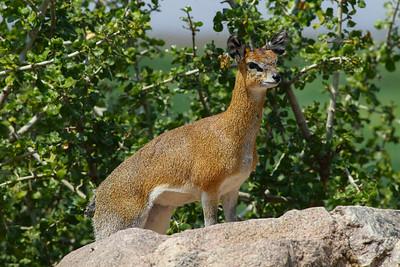 Klipspringer Antelope  Manyara NP Tanzania 2014 07 05 -4.JPG