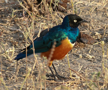 Superb Starling  Tarangire NP Tanzania  2014 07 03.JPG.JPG
