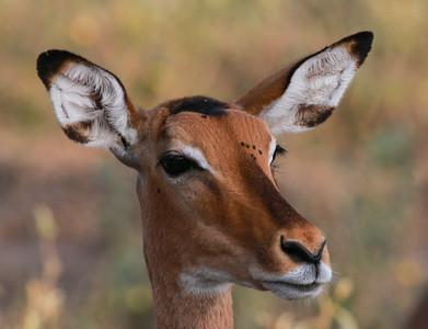 Impala  Tarangire NP Tanzania  2014 07 03.JPG.JPG