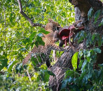 Leopard  Manyara NP Tanzania 2014 07 05 JPG.JPG