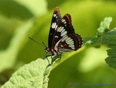 Butterfly on a leaf in Banff National Park Canada