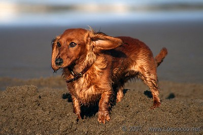 Wet dog at the beach signaling a left turn
