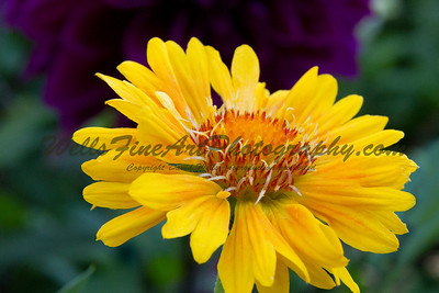Yellow Flower with Dahlia at Descanso Gardens