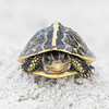 Florida Box Turtle (Terrapene carolina bauri)