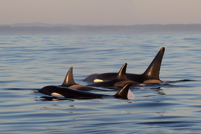 Bigg's (Transient) Killer Whale - Orcinus Orca