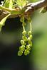 Valley oak buds
