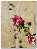 A flower next to the bullet riddled wall of the Notre Dame monastery, located next to the old city of Jerusalem. <br /> <br /> <br /> (if you know the flower's name, let me know).
