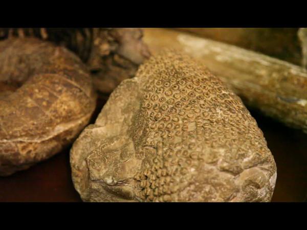 Окаменелости, найденные в Поленово