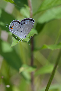 Eastern Tailed-Blue,  Big Foot, f8, T32 fill