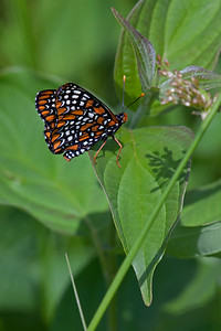 Baltimore Checkerspot,  Big Foot's longer brother with 14mm extension, no fill flash