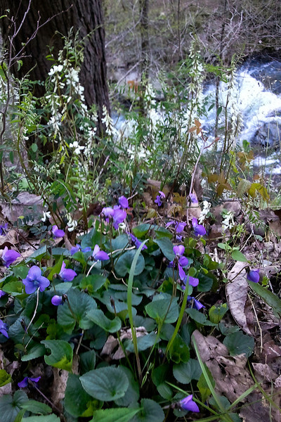 violets vetch vaterfall