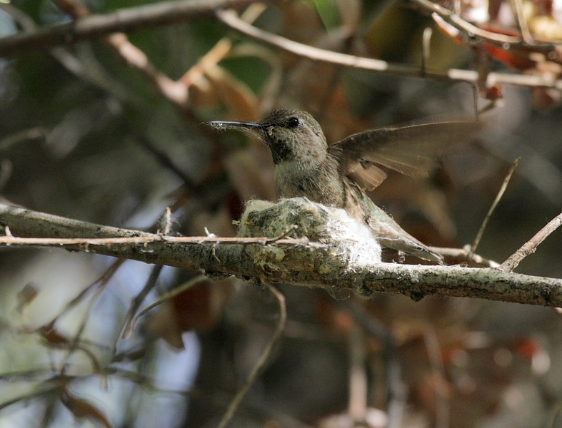 A female Anna's hummingbird was building a nest on a branch right next to the Marsh Trail boardwalk. She would collect spiderweb material and bring it back then shape the nest with her body. Fascinating to watch!