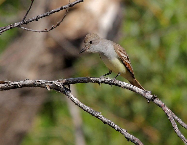 There were quite a few Flycatchers in the 2 days I visited, including this Ash-Throated --- or is it Brown-Crested? They're virtually identical and both known to be here.