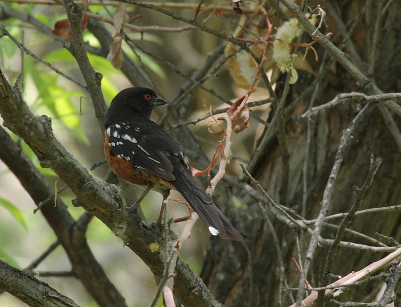 The buzz of Spotted Towhees accompanied my walks through the marsh...