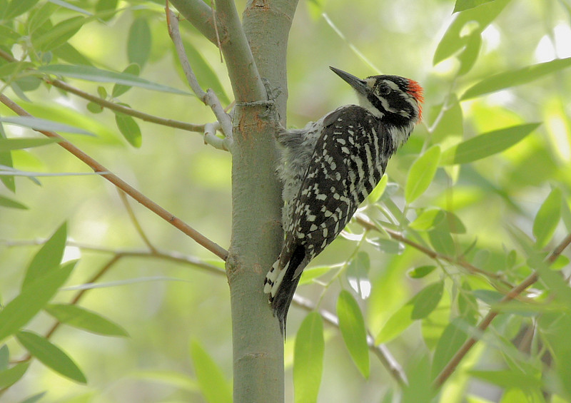 Also along Marsh Trail was this Nuttall's Woodpecker, more commonly seen at higher elevations but finding plenty of trees here in the desert to investigate.