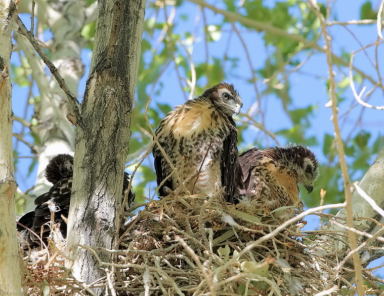 On April 30, 2010 the well-used nest in the trees at Covington Park was being used to raise 3 Red-tail Hawks. Looks like they'll fledge in a few weeks' time...