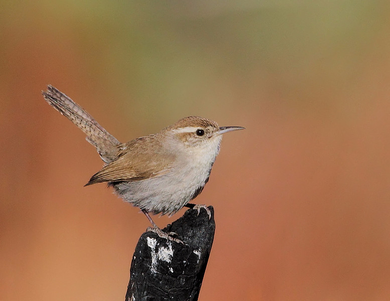 Another look at the Bewick's Wren....