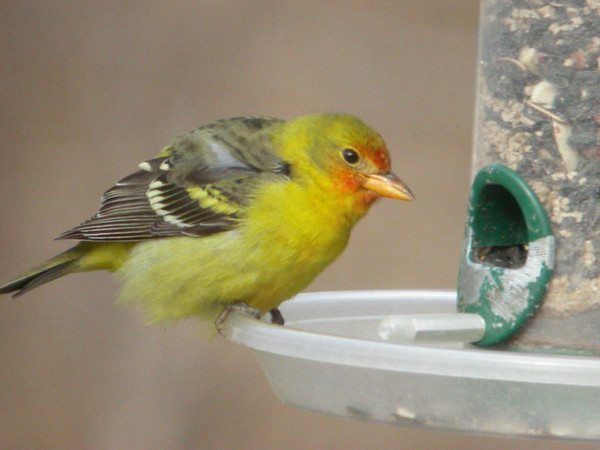 Western Tanager <br /> January 24, 2007, Florissant, MO <br /> Photo by Jim Malone