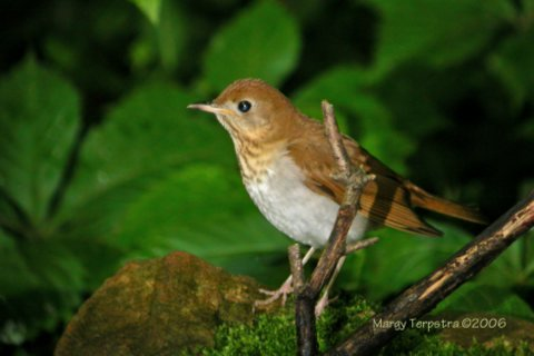 Veery <br /> Photo by Margy Terpstra