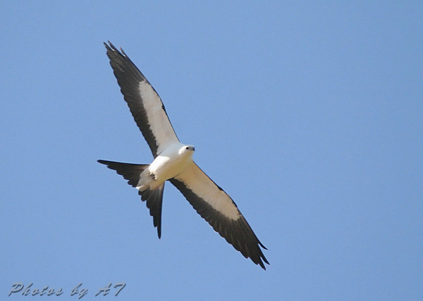 Swallow-tailed Kite <br /> Weldon Spring <br /> Photo by Al Smith