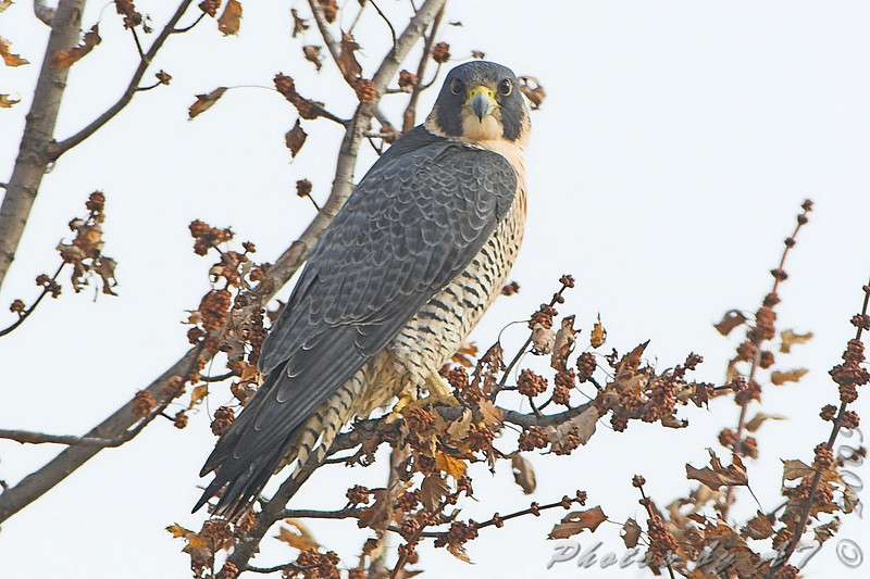 "Peregrine Falcon <br> Intersection of Red School and <br> Cora Island Roads just south of <br> Riverlands Migratory Bird Sanctuary <br> 2008-12-18 13:11:36 <br> Photo by Al Smith <br> <font color = gray> See all this day's </font> <a  href=""http://www.photosbyat.com/gallery/6864806_xXb9D#439121814_EAHWk""> <font color = gray>Photos Here</font></a>"