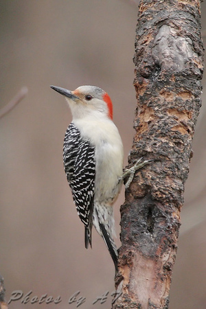 """Red-bellied Woodpecker (Female) <br> Warren County <br> 2006-12-25 14:31:28 <br> Photo by Al Smith <br> <font color = gray> See all this day's </font> <a  href=""""http://www.photosbyat.com/gallery/2275607""""> <font color = gray>Photos Here</font></a>"""