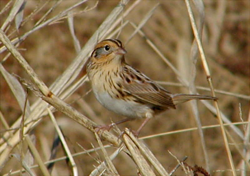 LeConte's Sparrow <br /> Photo by Jurek Majka