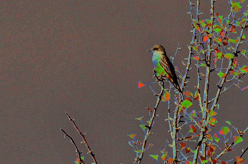 Cassin's Kingbird on Gingko Tree
