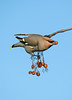 Waxwing 3 Seaforth Station, Merseyside Dec 2012