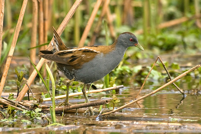 Bird Photos: Crakes and Rails