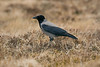 Hooded Crow 1 Shetland April 2013