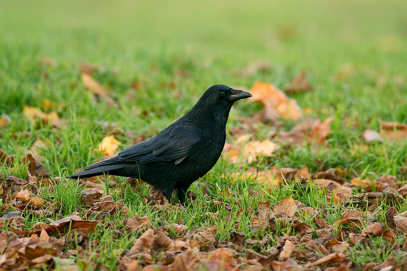 Carrion Crow 2