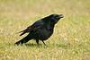 Carrion Crow 4