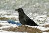 Carrion Crow 3