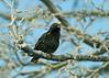 Starling b