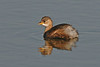Little Grebe 3