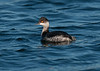 Black-necked Grebe 3