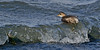 Little Grebe 4