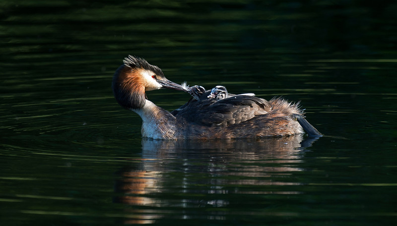 Great Crested Grebe passing feather to young
