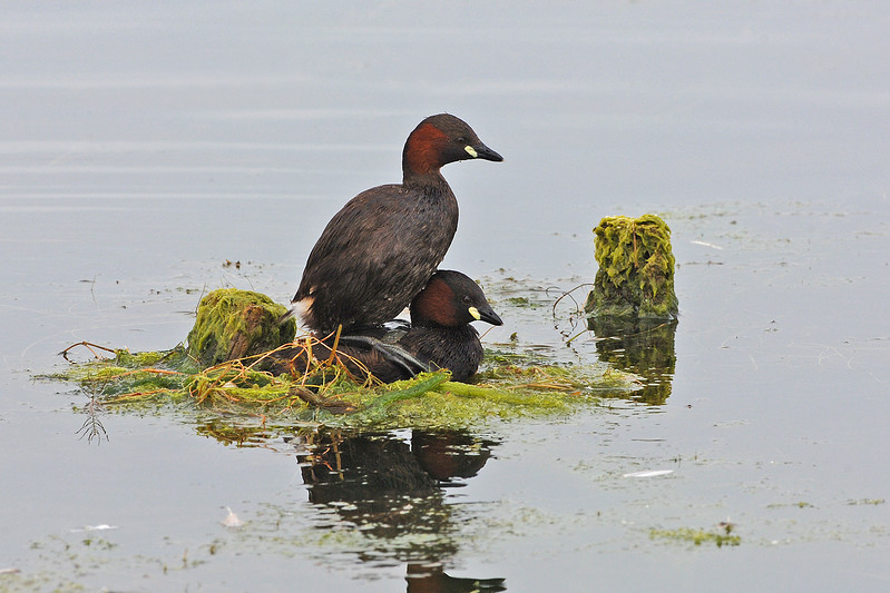 Little Grebe 7