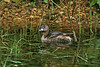 Pied Billed Grebe Radley GP Oxford April 1992