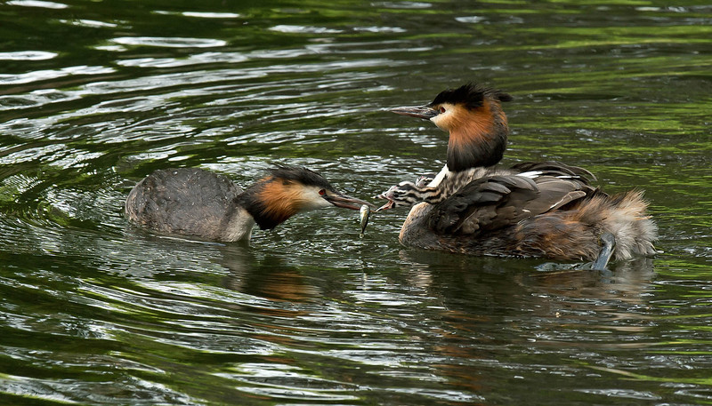 Great Crested Grebe feeding young on parent's back 2