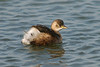 Little Grebe 5